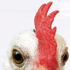 خمسة أسباب لعدم تناول لحم الدجاج